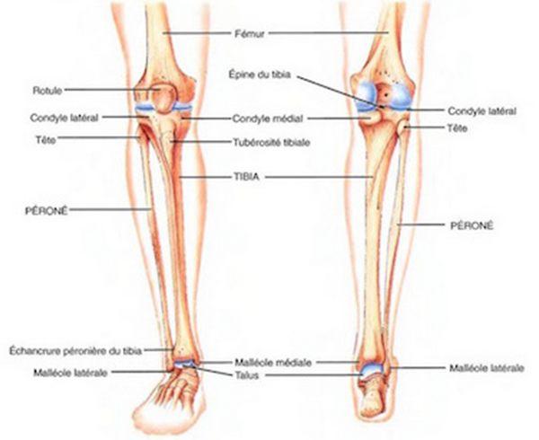Anatomie genou for Douleur au genou gauche interieur